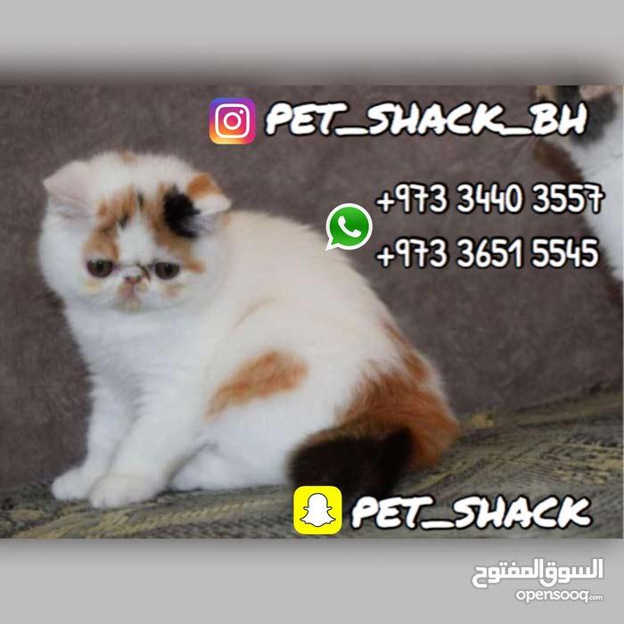 قطط اكزوتك بيكي فيس للبيع // Exotic Peke Face Kittens for Sale