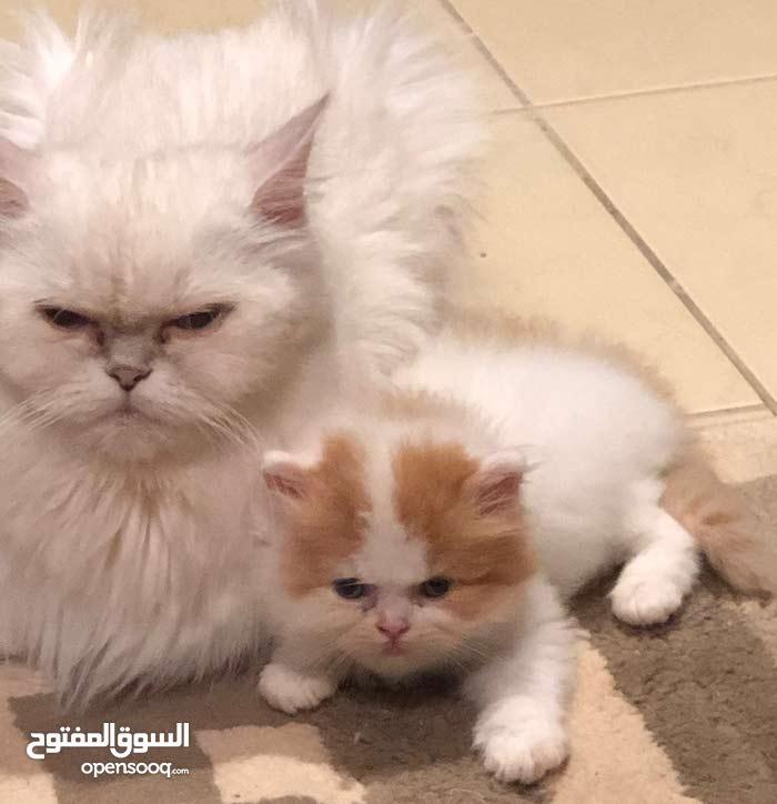 قطط كتين للحجز.   العمر  55 يوم