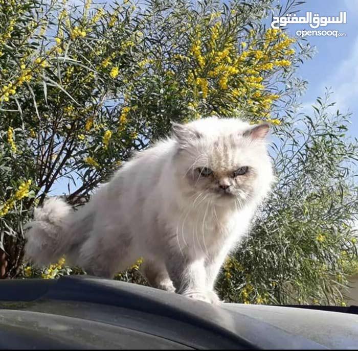 قطة هيمالايا .. عيون زرق