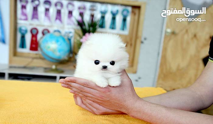White Cute Pomeranian teacup puppies for you and your love ones this period .