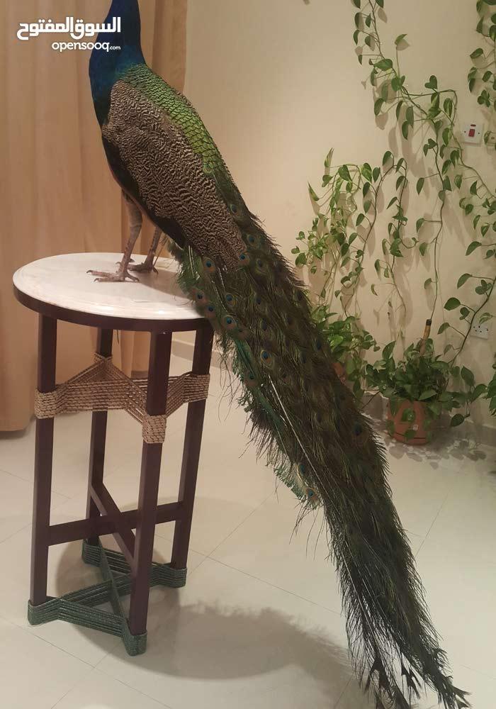 فرصة نادرة - طاووس حقيقي محنط