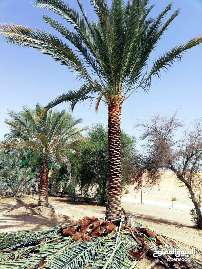 date palm trees for sale with home delivery and planting