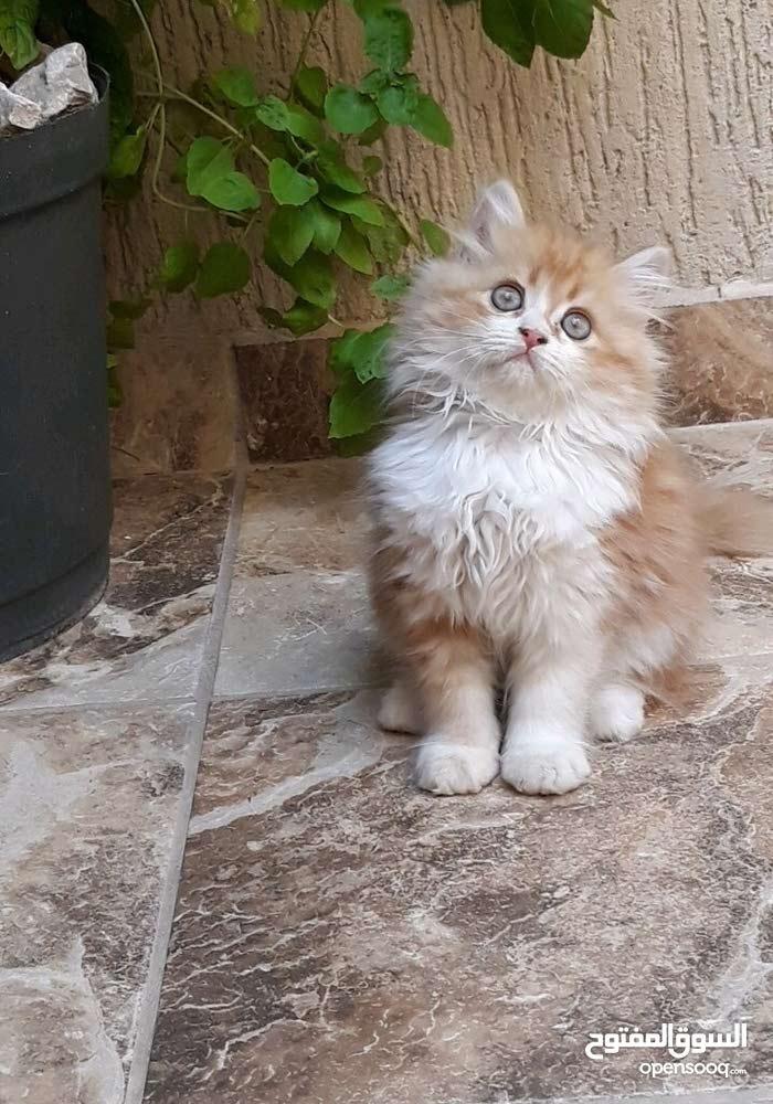 قطط للبيع عمرها شهرين ونص 2نوع ذكر وانثي هماليه  ام فارسي