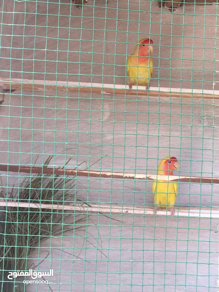 طائر الروز مع قفص للتكاثر