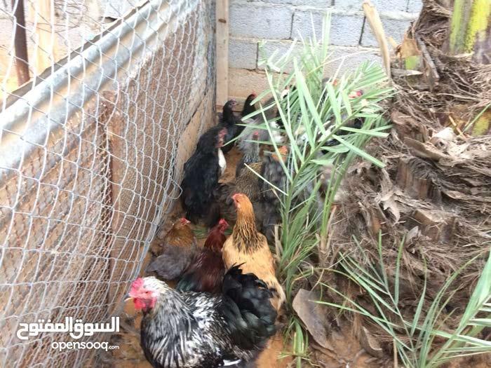 دجاج ابرهم للبيع