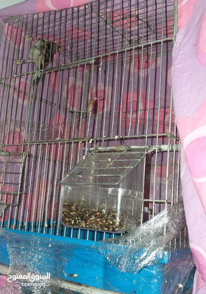 طيور حسون للبيع