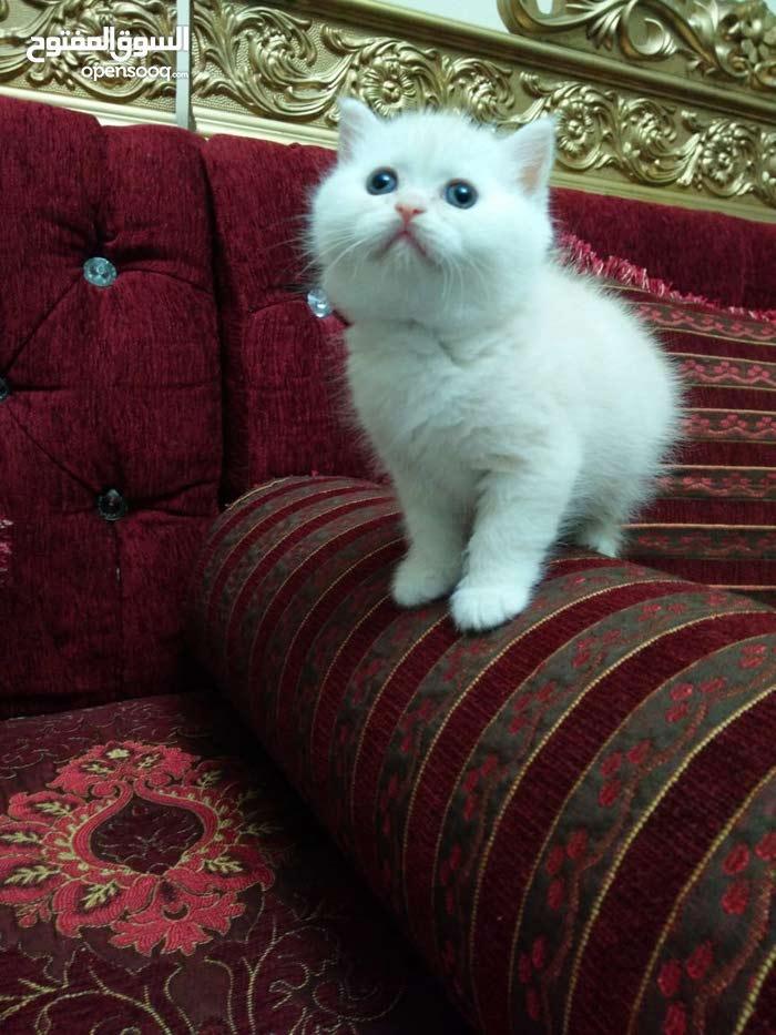 قطه اكسوتك عمر 45