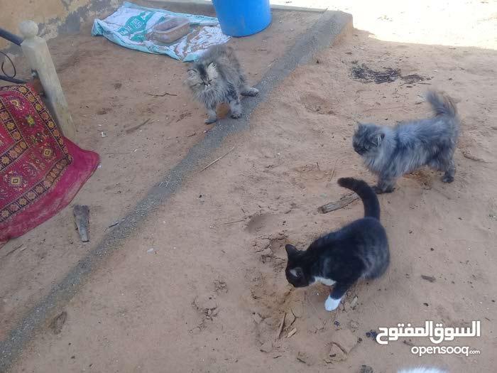 للبيع عدد وز بط 2 قطط شيرازي 3