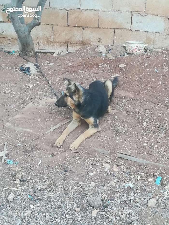 كلبة جيرمن شبرد