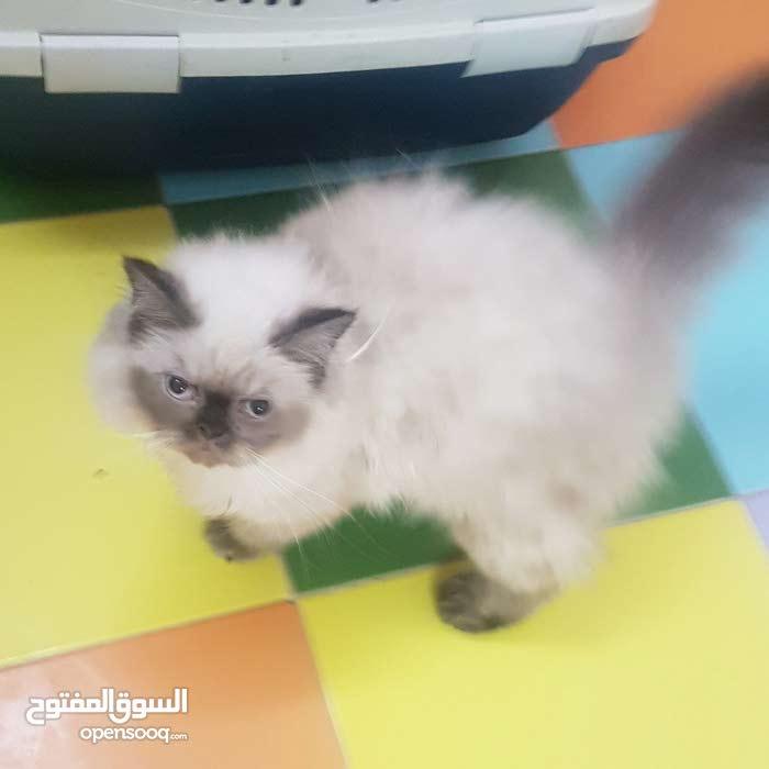 للبيع قطط 3 شهور ونص