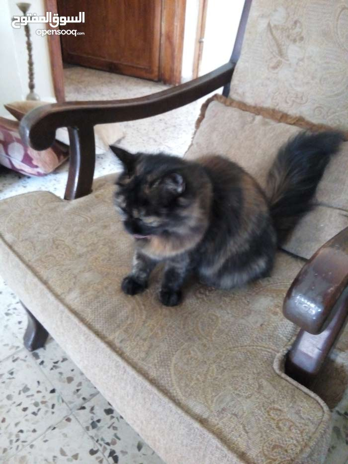 قطة انثى نوع هنجوراة عمر 8 شهور