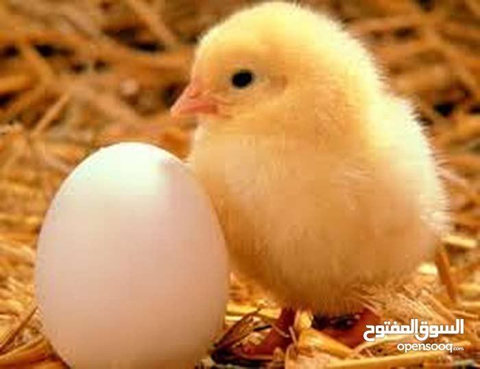 صوص دجاج عماني