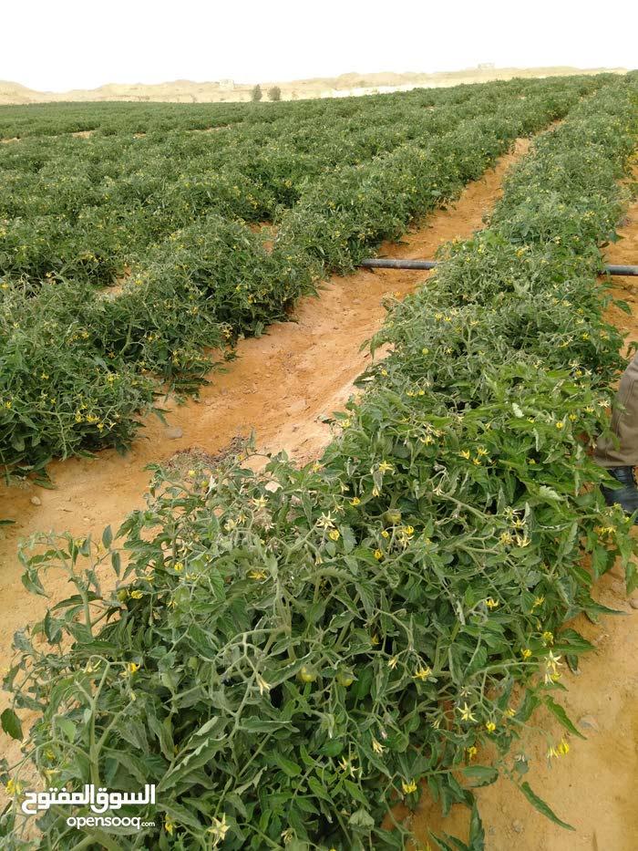مزرعه 30فدان للبيع قابلين للتجزئه مزروعه طماطم وبصل خيار