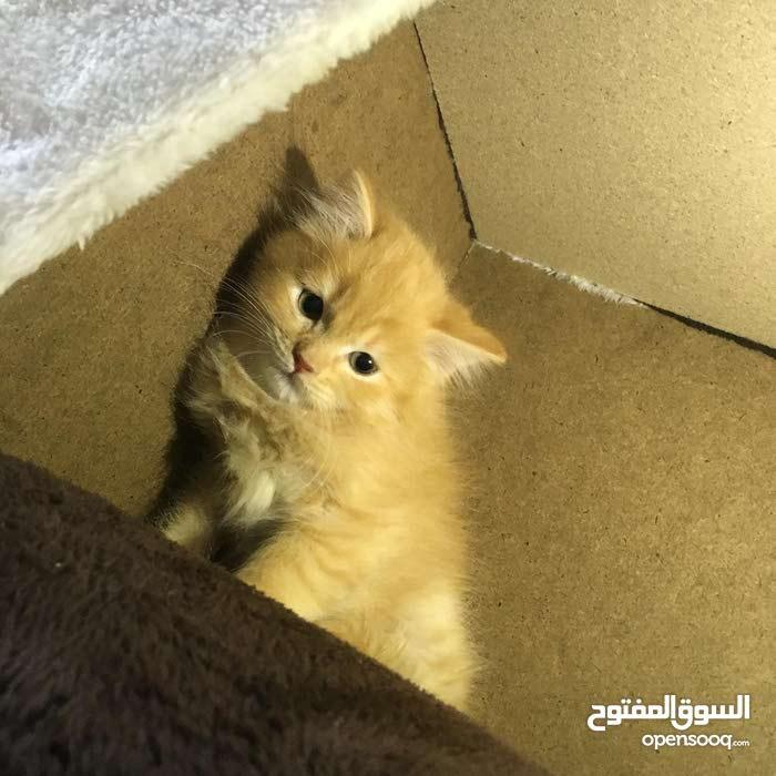 قطاوه شيرازيه صغار