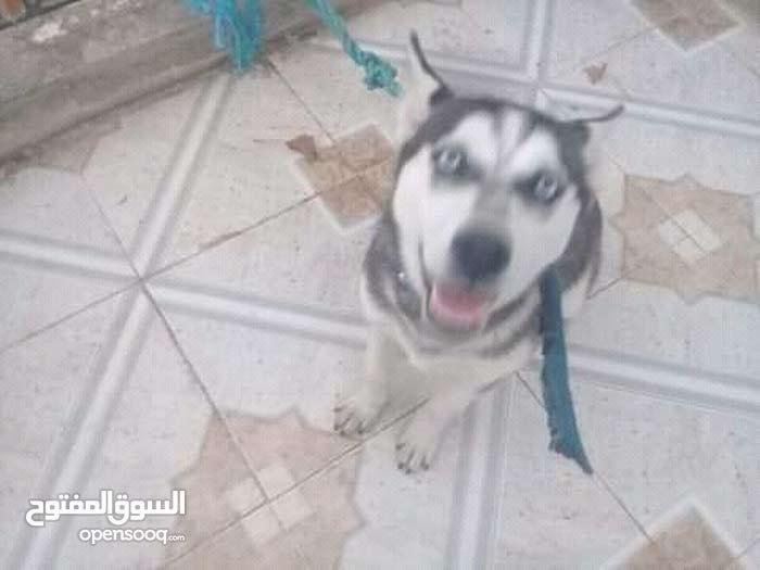 كلب الإسكيمو