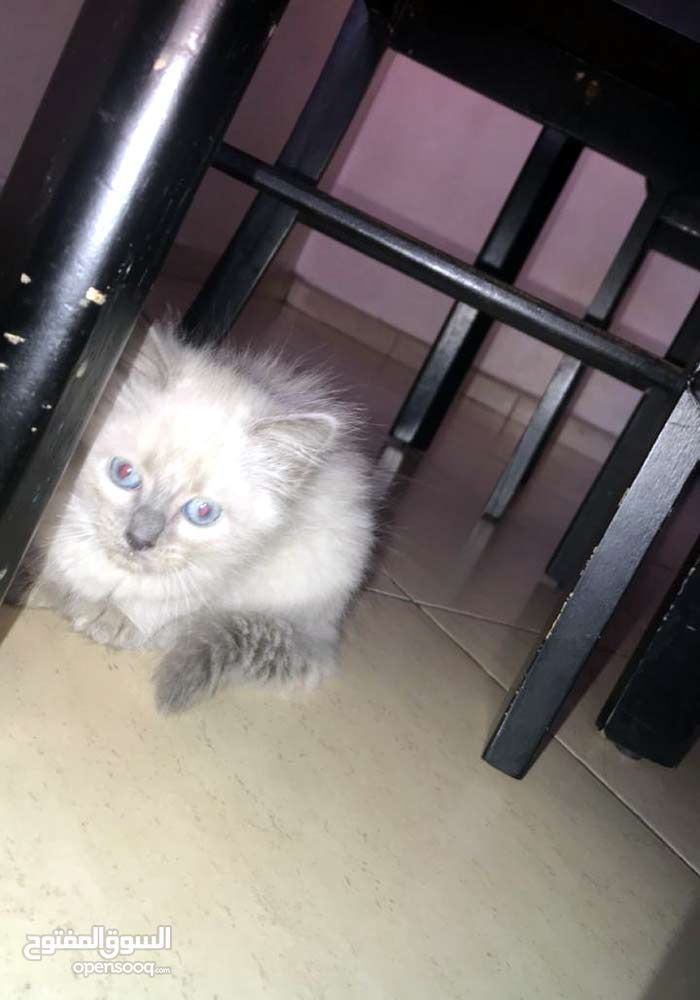 chattons sacrie de birlanie