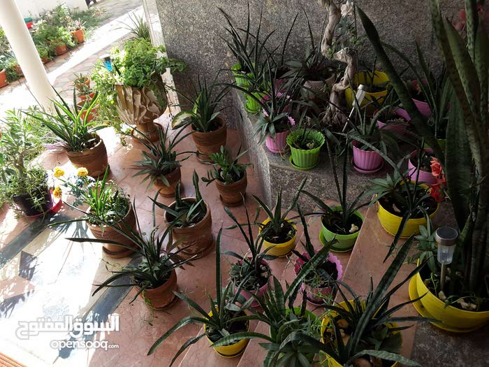 sanseviera plants in pots for indoor oxygination