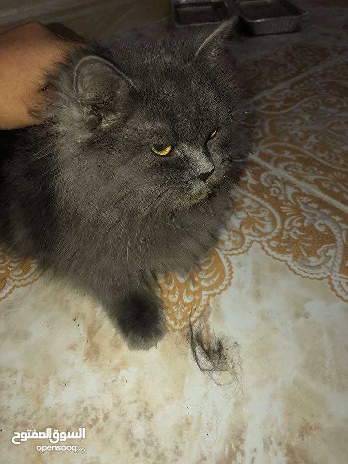 قطه ألمانيا ( العمر-7شهور)
