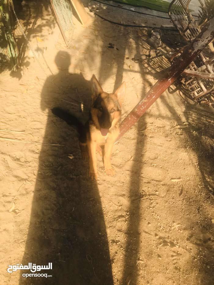كلب جيرمن لونق هير بيور العمر 5 شهور و يومين للبيع