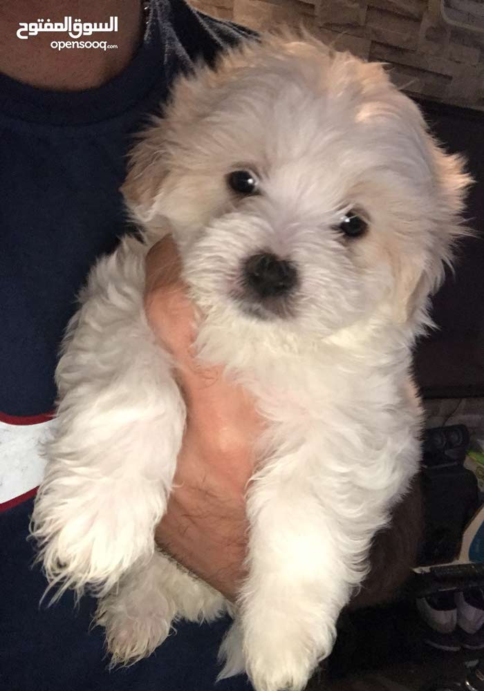 adorable 50days old pure mini Maltese available for sale