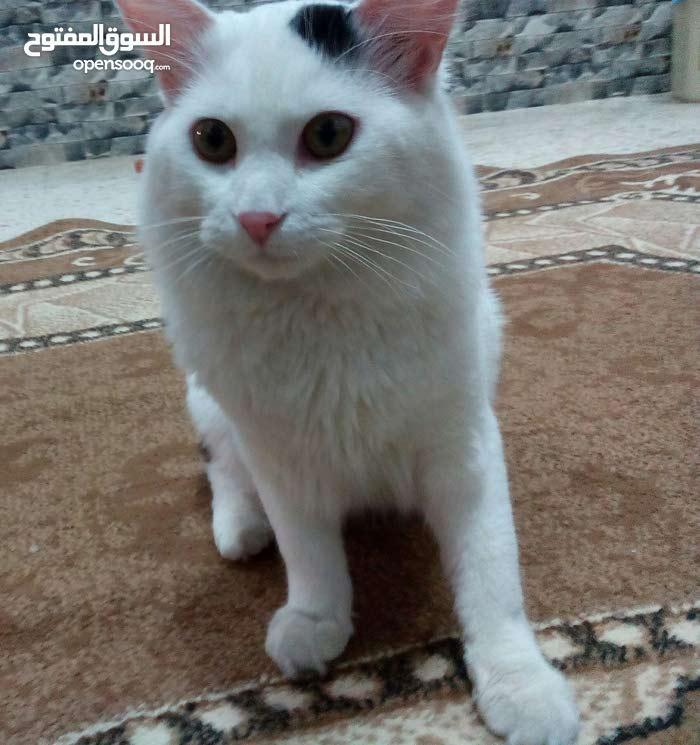 قط فارسي شيرازي للبيع