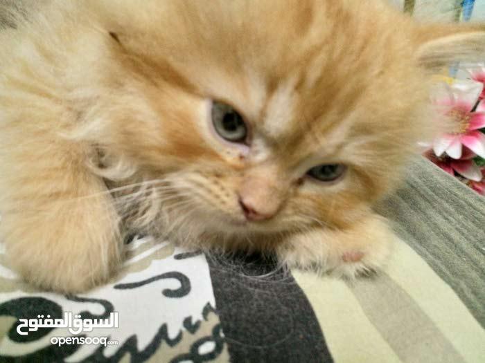 pure persian kittens
