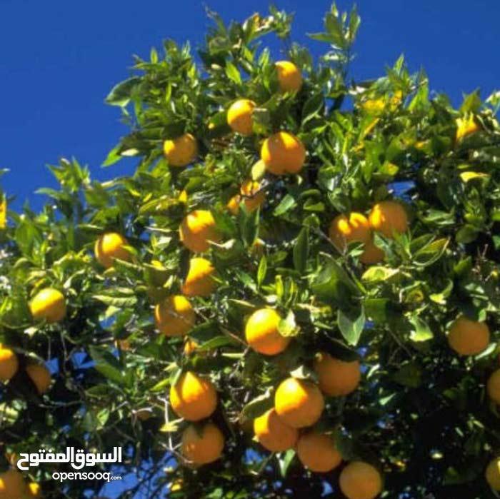 مزرعه للبيع مساحتها 133 فدان مانجو جميع الأنواع وبرتقال ملك بالاسماعيلية