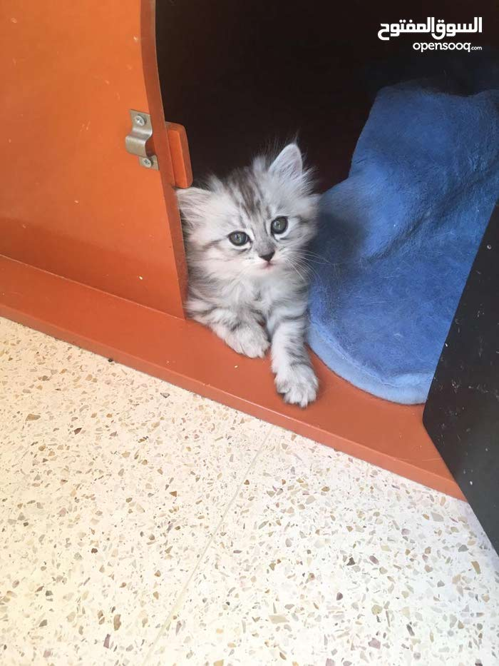قطط شنشيلا شيرازي بيور