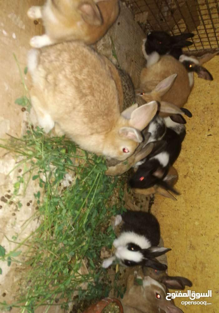edffc4984c261 للبيع ارانب محليه عمانيه مطلوب في زوج 10ريال - (101444272)