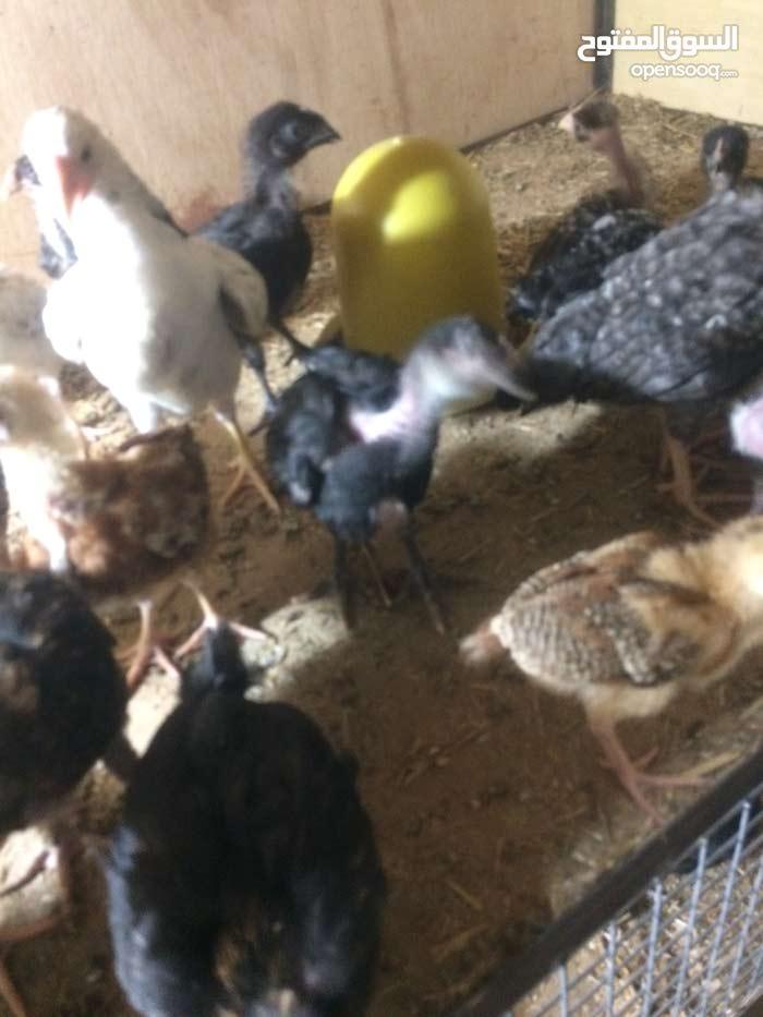 دجاج عرب ملقح ونشط وصحي 100%