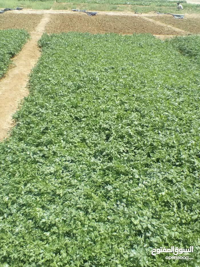مزارع خضار وورقيات