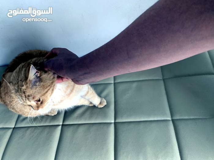 adorable male cat/قط اليف