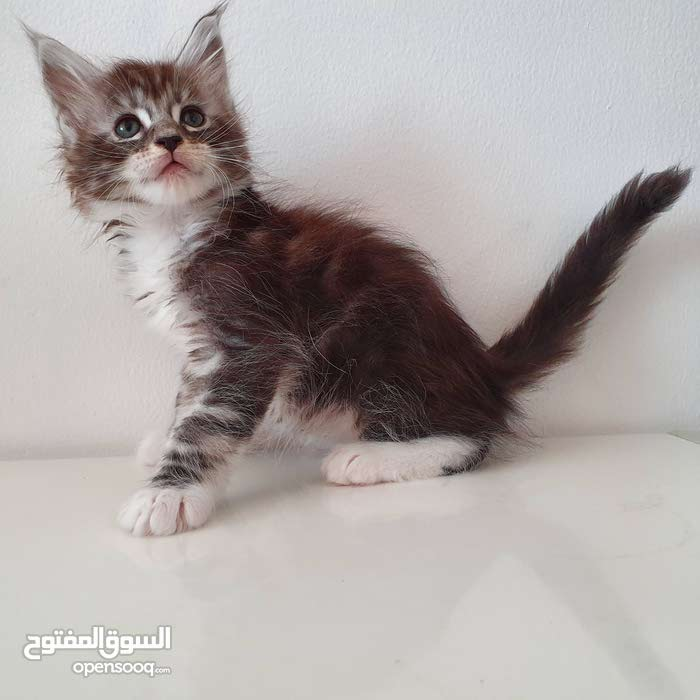 Pure breed silver tabby maine coon kitten with pedigree - (110969933