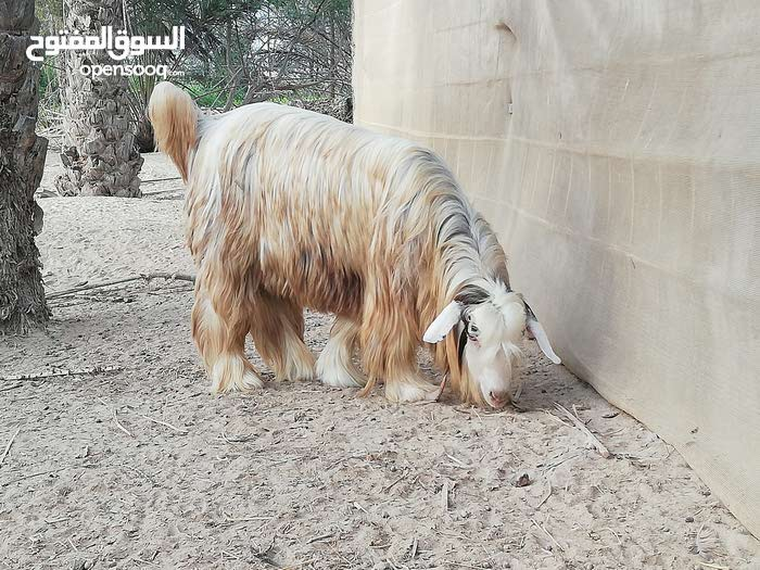 تيس رحبي اجلح هديد العمر سنتين والله اعلم