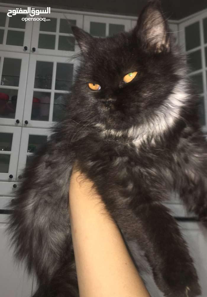 قطه سوداء صغيره