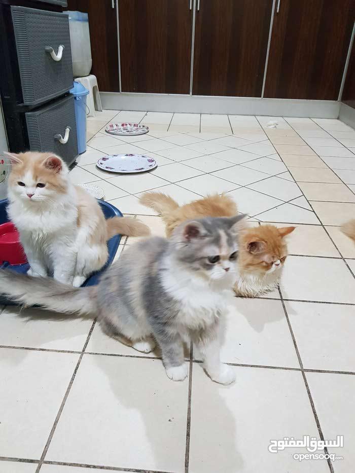 مجموعة قطط للبيع شيرازي ولادة بيت