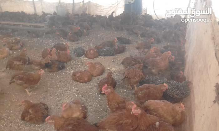 دجاج كروازي للبيع