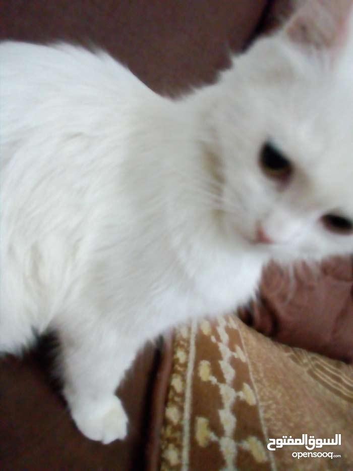 قط شيرازي انثى عيون خضر