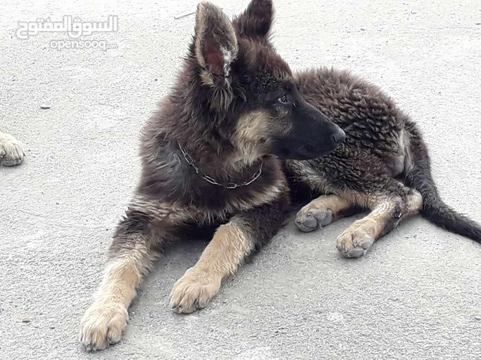 chien Bergé allemand femalle