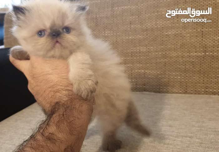 قطط هيمالايا مميزة من ام مستوردة شعر كثيف انف زرار