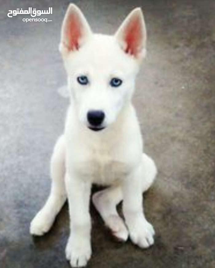 هاسكي 3 شهور عيون زرق