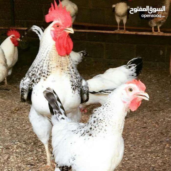 بيض مضمون التخصيب ودجاج فرنسي بيور للبيع جميع الالوان والاعمار وحضانات للصيصان