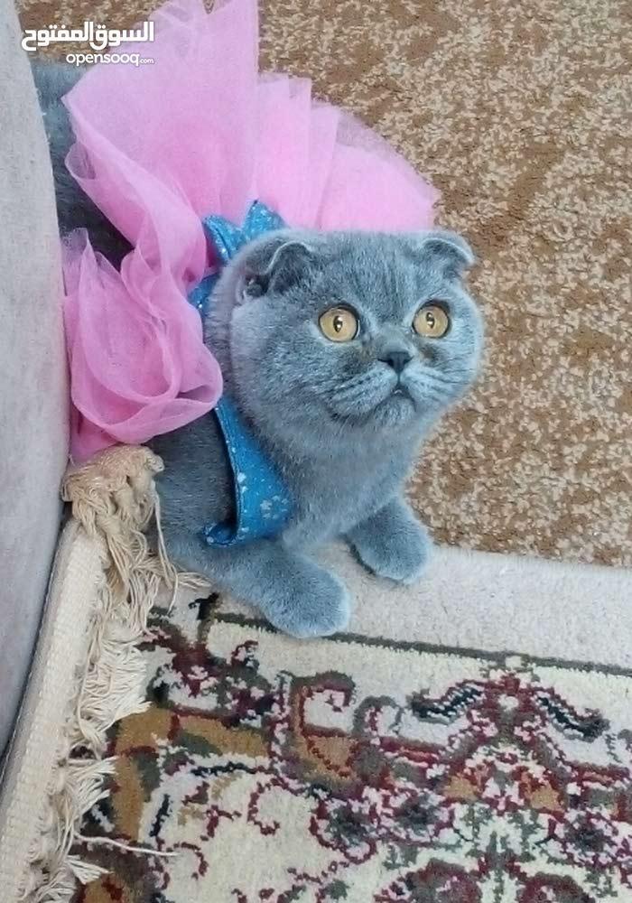 قطة سكوتش فولد بيور للبيع