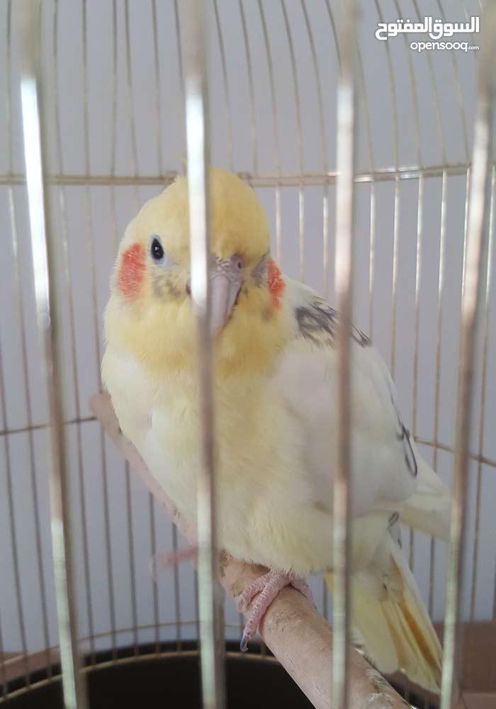 Parrots for sale.