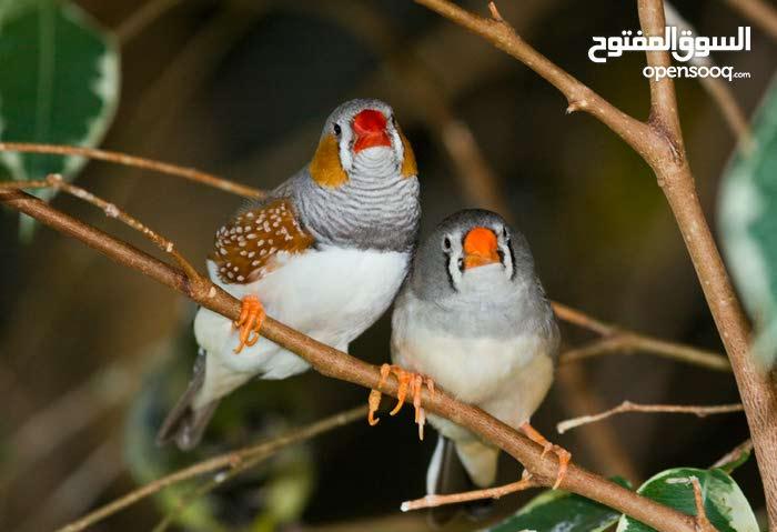 عصافير جنه جوز  ع 4