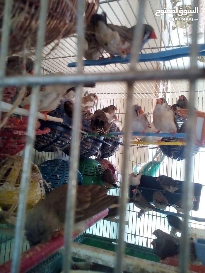 طيور جنه بلاك فيس مشوش بناديق جانبو وشوي بلدي للبدل كوم 30 جوزسعرالجوز من الاخر5
