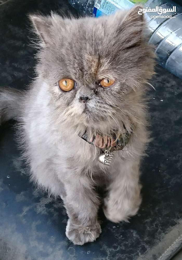 قطه شيرازي بيكي فيس بيور 4 اشهر انثي