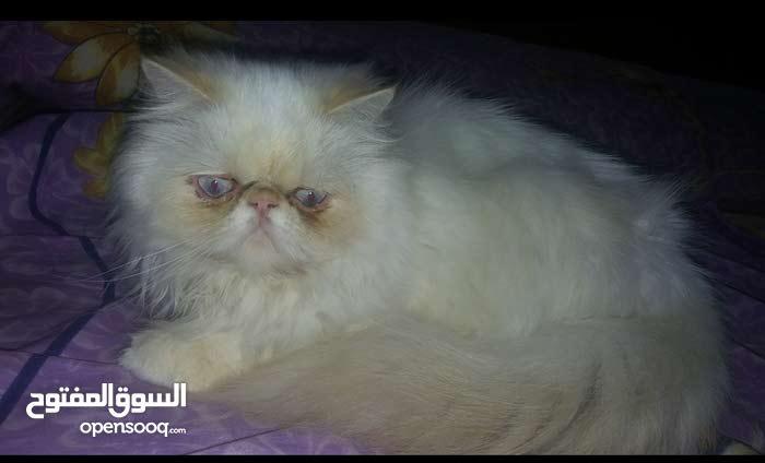 قطة هيمالايا بطنطا