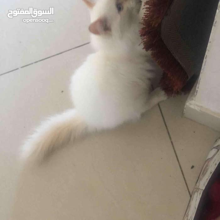 قطط لببيع شيرازي