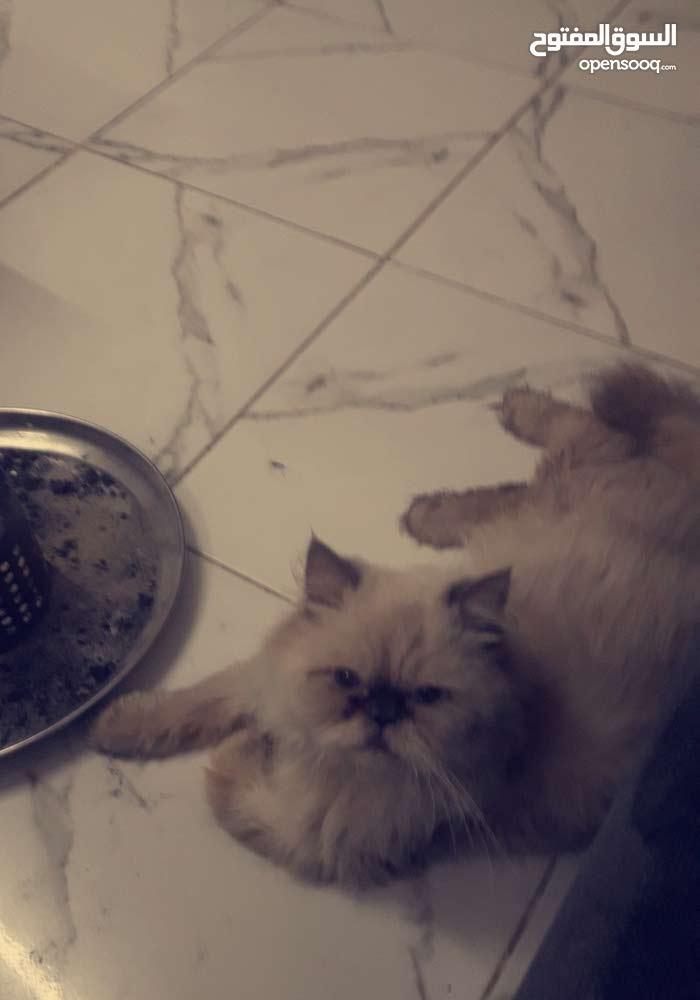 للبيع جوز قطط بيكي فيس تشوكلت وبيكي فيس زرار تشوكلت